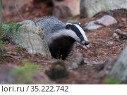Eurasian badger (Meles meles) Jarbo, Sweden. Стоковое фото, фотограф Staffan Widstrand / Nature Picture Library / Фотобанк Лори