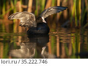 Eurasian coot (Fulica atra) Kyrkbosjon, Bromma, Stockholm, Sweden. Стоковое фото, фотограф Staffan Widstrand / Nature Picture Library / Фотобанк Лори