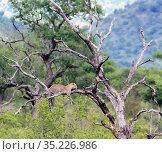 Wild leopard lies on a dry tree with its paws hanging down. Леопард на дереве. Стоковое фото, фотограф Олег Елагин / Фотобанк Лори
