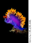Portrait of a Spanish shawl nudibranch (Flabellinopsis iodinea). Palos Verdes, Los Angeles, California, United States of America. North East Pacific Ocean. Стоковое фото, фотограф Alex Mustard / Nature Picture Library / Фотобанк Лори
