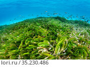 Seagrass meadow (Thalassodendron cilliatum) with young Paddletail snappers (Lutjanus gibbus). Seagrass is threatened in the Maldives, where many resorts... Стоковое фото, фотограф Alex Mustard / Nature Picture Library / Фотобанк Лори