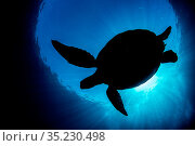 RF - Silhouette of a Green turtle (Chelonia mydas) against the surface... Стоковое фото, фотограф Alex Mustard / Nature Picture Library / Фотобанк Лори