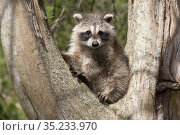 Raccoon (Procyon lotor) cub aged approximately five weeks sitting in tree fork.Connecticut, USA. May. Стоковое фото, фотограф Lynn M. Stone / Nature Picture Library / Фотобанк Лори