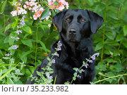 Black Labrador Retriever female sitting amongst flowers. Connecticut, USA, June. Стоковое фото, фотограф Lynn M. Stone / Nature Picture Library / Фотобанк Лори