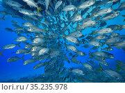 Horse-eye jack (Caranx latus) shoal under boat. Bahamas. Стоковое фото, фотограф Pascal Kobeh / Nature Picture Library / Фотобанк Лори