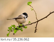 Marsh tit (Poecile palustris) perched on tree branch. Suffolk, England, UK. April. Стоковое фото, фотограф Oscar Dewhurst / Nature Picture Library / Фотобанк Лори