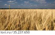 Wide farmland. Golden wheat field under blue sky. Swaying on the wind. Стоковое видео, видеограф Кекяляйнен Андрей / Фотобанк Лори