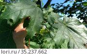 Female hands showing maple leaf with disease. Sick and dried tree. Summer season. Стоковое видео, видеограф Кекяляйнен Андрей / Фотобанк Лори