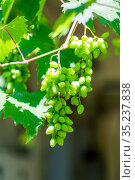 branch with green unripe berries of the grapes. Стоковое фото, фотограф Константин Лабунский / Фотобанк Лори