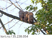 Tawny owl (Strix aluco), three fledglings perched on branch. Norwich, Norfolk, England, UK. April. Стоковое фото, фотограф Robin Chittenden / Nature Picture Library / Фотобанк Лори