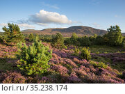 RF - Flowering heather moor and scattered pine and birch, Tulloch... Стоковое фото, фотограф SCOTLAND: The Big Picture / Nature Picture Library / Фотобанк Лори