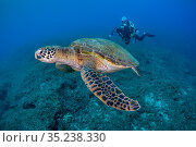 Diver and green turtle (Chelonia mydas) Xiaoliuqiu Island, Taiwan. Стоковое фото, фотограф Magnus Lundgren / Wild Wonders of China / Nature Picture Library / Фотобанк Лори