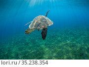 Green turtle (Chelonia mydas) rear view,Xiaoliuqiu Island, Taiwan. Стоковое фото, фотограф Magnus Lundgren / Wild Wonders of China / Nature Picture Library / Фотобанк Лори