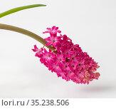 Pink hyacinth isolated on a white background. Стоковое фото, фотограф Володина Ольга / Фотобанк Лори