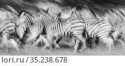 Zebra (Equus quagga) herd running, chased by Lion (Panthera leo) pride. Savuti, Chobe National Park, Botswana. Стоковое фото, фотограф Guy Edwardes / Nature Picture Library / Фотобанк Лори