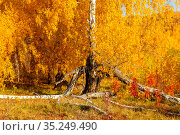 old broken birch tree in autumn forest on a sunny day. Стоковое фото, фотограф Акиньшин Владимир / Фотобанк Лори