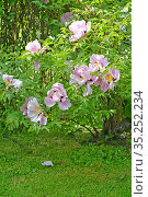 Цветущий пион кустарниковый (древовидный) (Paeonia  suffruticosa) Стоковое фото, фотограф Ирина Борсученко / Фотобанк Лори