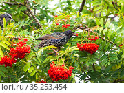 Common starling (Sturnus vulgaris) juvenile eating berries of Mountain... Стоковое фото, фотограф Mike Read / Nature Picture Library / Фотобанк Лори