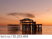 Starling (Sturnus vulgaris) murmuration at sunset, West Pier, Brighton... Стоковое фото, фотограф Peter Lewis / Nature Picture Library / Фотобанк Лори