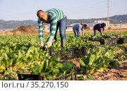 Farmer and his assistant harvesting ripe mangold on plantation. Стоковое фото, фотограф Яков Филимонов / Фотобанк Лори