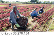 Successful african american farmer showing red lettuce harvest. Стоковое фото, фотограф Яков Филимонов / Фотобанк Лори
