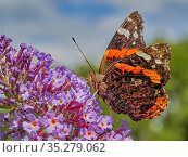 Red Admiral butterfly (Vanessa atalanta) feeding on buddleia, Wales, UK, July. Стоковое фото, фотограф Andy Rouse / Nature Picture Library / Фотобанк Лори