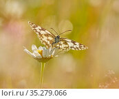 RF - Marbled White (Melanargia galathea) in meadow UK. (This image can be sold as Rights managed or Royalty free). Стоковое фото, фотограф Andy Rouse / Nature Picture Library / Фотобанк Лори