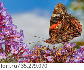 RF - Red Admiral butterfly (Vanessa atalanta) feeding on buddleia, Wales, UK. July. (This image can be sold as Rights managed or Royalty free). Стоковое фото, фотограф Andy Rouse / Nature Picture Library / Фотобанк Лори