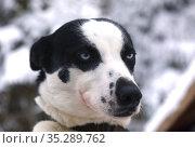 Portrait of a husky sled dog outdoors. Стоковое фото, фотограф Алексей Кузнецов / Фотобанк Лори