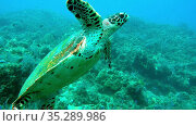 Giant Hawksbill sea turtle Eretmochelys imbricata in pure transparent water. Relax underwater video about marine reptile Cheloniidae. Стоковое видео, видеограф Куликов Константин / Фотобанк Лори