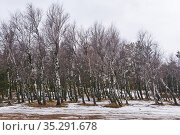 Birch grove with thawed patches in early spring. Стоковое фото, фотограф Евгений Харитонов / Фотобанк Лори
