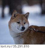 Портрет рыжей сиба-ину, зима. Стоковое фото, фотограф Михаил Панфилов / Фотобанк Лори