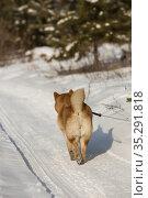 Сиба-ину уходит по зимней дороге. Стоковое фото, фотограф Михаил Панфилов / Фотобанк Лори