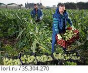 Farm worker carrying crates with artichokes. Стоковое фото, фотограф Яков Филимонов / Фотобанк Лори