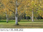 Autumn birch at Cambridge University Botanic Garden. Стоковое фото, фотограф Dariusz Gora / easy Fotostock / Фотобанк Лори