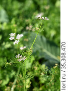 Closeup of Coriander flowers on the plant in a farm field. Стоковое фото, фотограф Dipak Chhagan Shelare / easy Fotostock / Фотобанк Лори