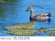 Gadwall (Anas strepera) drake swimming in a marshland pool, Catcott Lows National Nature Reserve, Somerset, UK, September. Стоковое фото, фотограф Nick Upton / Nature Picture Library / Фотобанк Лори