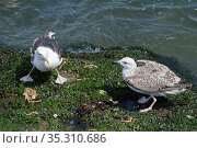 Great black-backed gull (Larus marinus) juvenile approaching a subadult standing over a Spiny spider crab (Maja squinado) it has just caught and is feeding... Стоковое фото, фотограф Nick Upton / Nature Picture Library / Фотобанк Лори