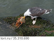 Great black-backed gull (Larus marinus) adult feeding on a large, soft recently moulted male Spiny spider crab (Maja squinado) it has just caught on a very low spring tide, The Gower, Wales, UK, July. Стоковое фото, фотограф Nick Upton / Nature Picture Library / Фотобанк Лори
