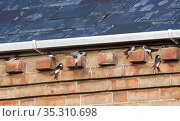 House martins (Delichon urbicum) flying up to and perching on bricks under house eaves as a group gathers ahead of their autumn migration, Gloucestershire, UK, September. Стоковое фото, фотограф Nick Upton / Nature Picture Library / Фотобанк Лори