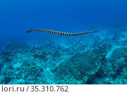 Turtleheaded sea snake (Emydocephalus annulatus) Green Island, Taiwan. The island is a small volcanic island in the Pacific Ocean famous for clear water, coral reefs and marine life in abundance. Стоковое фото, фотограф Magnus Lundgren / Wild Wonders of China / Nature Picture Library / Фотобанк Лори
