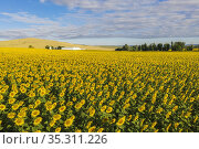 Sunflower (Helianthus annuus) cultivations and farmhouse in the Campiña... Стоковое фото, фотограф Thomas Dressler / age Fotostock / Фотобанк Лори