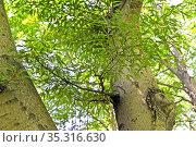 Бук лесной разрезнолистный (Fagus sylvatica, var. laciniata ), ветка с листьями на фоне ствола. Стоковое фото, фотограф Ирина Борсученко / Фотобанк Лори