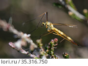 Tiger cranefly (Nephrotoma submaculosa) female. a mainly coastal, sandy habitat species, resting on heather, Dorset heathland, UK, May. Стоковое фото, фотограф Nick Upton / Nature Picture Library / Фотобанк Лори
