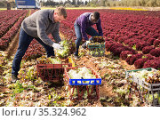 Two farmers harvest lettuce on a plantation. Стоковое фото, фотограф Яков Филимонов / Фотобанк Лори