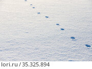 Fox footprints in a snowdrift surface at sunny day. Стоковое фото, фотограф EugeneSergeev / Фотобанк Лори