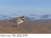 Ringed plover (Charadrius hiaticula) standing on beach. Durham, UK. January. Стоковое фото, фотограф Oscar Dewhurst / Nature Picture Library / Фотобанк Лори