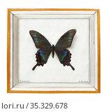 Парусник Маака (лат. Papilio maackii) в рамке. Стоковое фото, фотограф Мария Кылосова / Фотобанк Лори