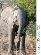 Young elephant tries to eat an acacia branch (2010 год). Стоковое фото, фотограф Олег Елагин / Фотобанк Лори