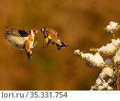 Goldfinch (Carduelis carduelis) two fighting in snowy garden, Wales, UK, January. Стоковое фото, фотограф Andy Rouse / Nature Picture Library / Фотобанк Лори